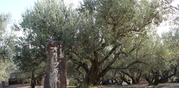 オリーブの原木樹齢100年